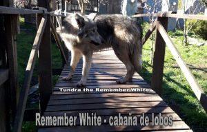 wolfdog o perro lobo ártico