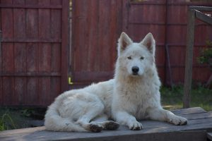 perro lobo ártica