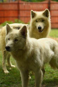 el perro lobo, o mal llamado lobo híbrido