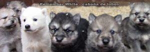 no son raza perro lobo, y la variabilidad genética que se ve ya desde el fenotipo