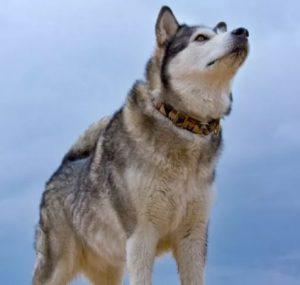 perro lobo difícil de controlar, tiene más de husky que de otra cosa